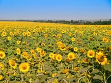 Free Sunflowers - Landscape Royalty Free Stock Photography - 15440957