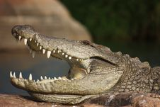 Free Super Croc! Royalty Free Stock Photos - 15441148