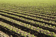 Lettuce Field Stock Photo