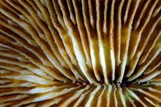 Close-up Of A Fungia Coral Royalty Free Stock Image