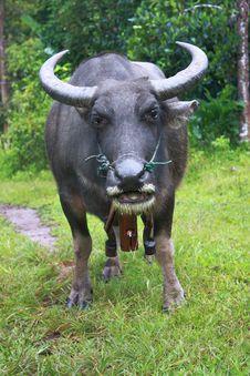 Free Thai Buffalo Royalty Free Stock Image - 15441606