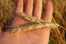 Free Wheating Spikelet On The Hand Royalty Free Stock Images - 15441729