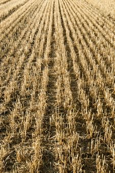Free Harvested Cereal Field Stock Photos - 15442133