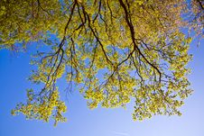 Free Leaves Of A Tree In Intensive Light Stock Images - 15442174
