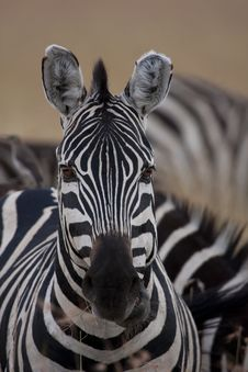 Free Zebra Portrait Royalty Free Stock Photo - 15442205