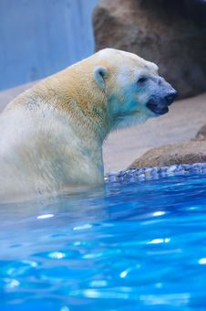 Free Polar Bear In Water Royalty Free Stock Photos - 15443548