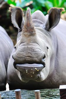 Free Endangered White Rhinoceros Stock Photos - 15443683