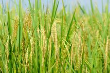 Free The Paddy Rice In Field Stock Image - 15444191