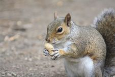 Free Squirrel With Nut Royalty Free Stock Photos - 15444498