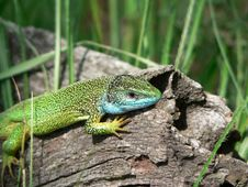 Free Lizard Stock Image - 15444721