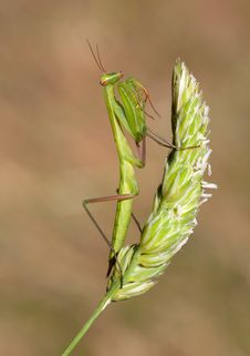 Free Mantis Closeup Stock Photo - 15445620