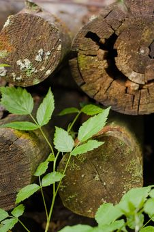 Free Old Logs And New Sprout Royalty Free Stock Photos - 15445778