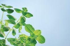 Free Garden Mint Royalty Free Stock Image - 15445946