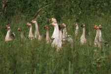 Free Flock Of Gray Gooses In The Grassland Stock Image - 15446251