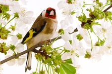 Free Goldfinch Royalty Free Stock Image - 15447046