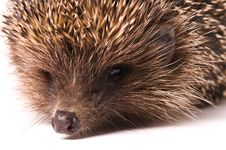 Free Hedgehog Royalty Free Stock Image - 15447086