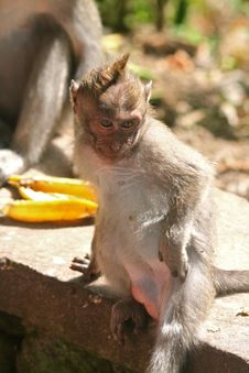 Long Tailed Macaque Scratching Stock Photo
