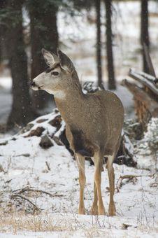 Free Winter Deer Stock Images - 15448164