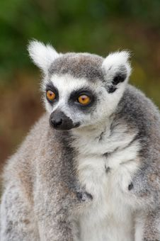 Free Ring Tailed Lemur Royalty Free Stock Photo - 15448165