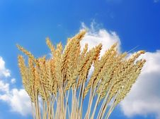 Free Golden Wheat And Blue Sky Royalty Free Stock Photography - 15448357