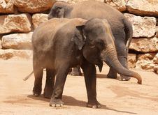 Free Young Elephant Stock Photo - 15449090