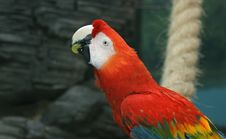 Free Parrot - Red Blue Macaw Royalty Free Stock Images - 15449179