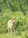 Free Calf  In A Tropical Forest Stock Image - 15452091