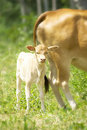 Free Calf  With His Mother In A Tropical Forest Stock Photos - 15452093
