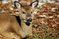 Free Chewing Deer Royalty Free Stock Photo - 15455905