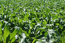 Free Maize Plants Royalty Free Stock Photography - 15450407