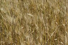 Free Wheat Field Royalty Free Stock Photos - 15450438