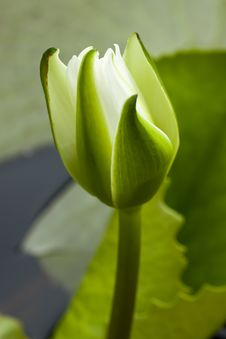 Free Yellow Water Lily Bud Stock Images - 15451434