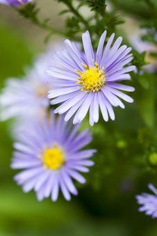 Free Blue Daisy Royalty Free Stock Photos - 15451578