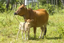 Free Calf  With His Mother In A Tropical Forest Royalty Free Stock Photos - 15452098