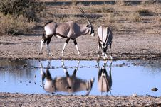 Free Oryx At A Waterhole Royalty Free Stock Photos - 15452558
