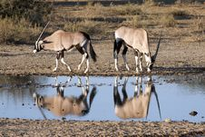 Free Oryx At A Waterhole Royalty Free Stock Photo - 15452595