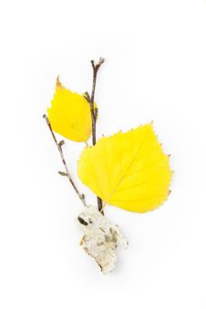 Autumn Birch Leaves / Beautiful Composition Royalty Free Stock Image