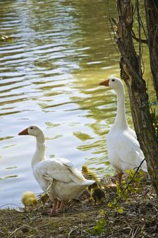 Free A Family Of Geese Stock Photo - 15454660