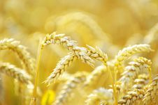 Free Wheat Stock Images - 15454784