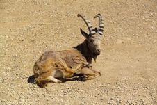 Free Siberian Ibex Stock Photo - 15454810