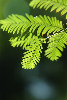 Free Metasequoia Glyptostroboides Stock Images - 15455294