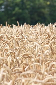 Free Wheat Field Royalty Free Stock Photo - 15455355