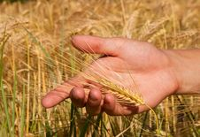 Free Golden Wheat Stock Image - 15455401