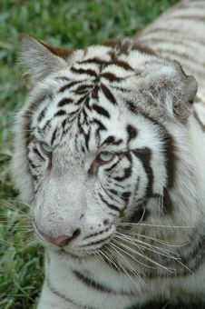 Free White Tiger Royalty Free Stock Images - 15455549