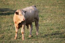 Free Calf Stock Photos - 15455583