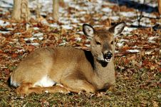 Deer Laying Stock Photography