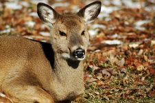 Chewing Deer Royalty Free Stock Photo
