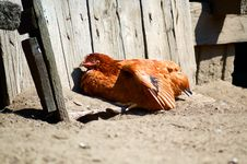 Free Sunbathing Chicken Stock Images - 15456314