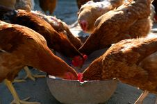 Free Feeding Fowls Royalty Free Stock Photos - 15456348