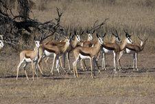 Free Springbok In The Kalahari Stock Images - 15456394